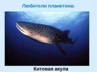 Любители планктона: Китовая акула
