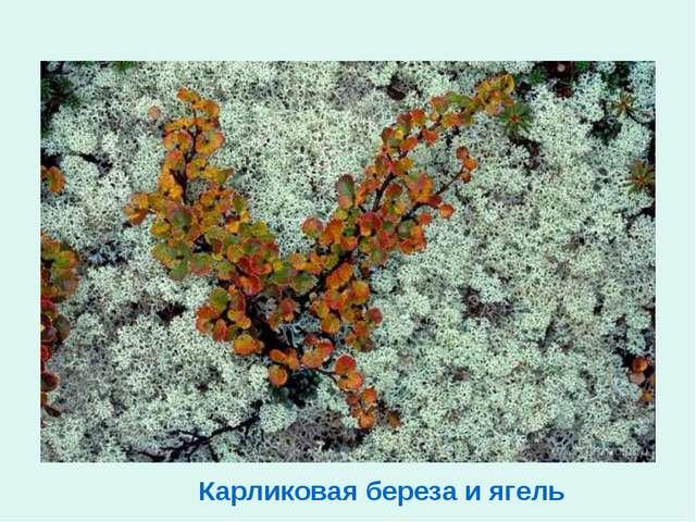 Карликовая береза и ягель