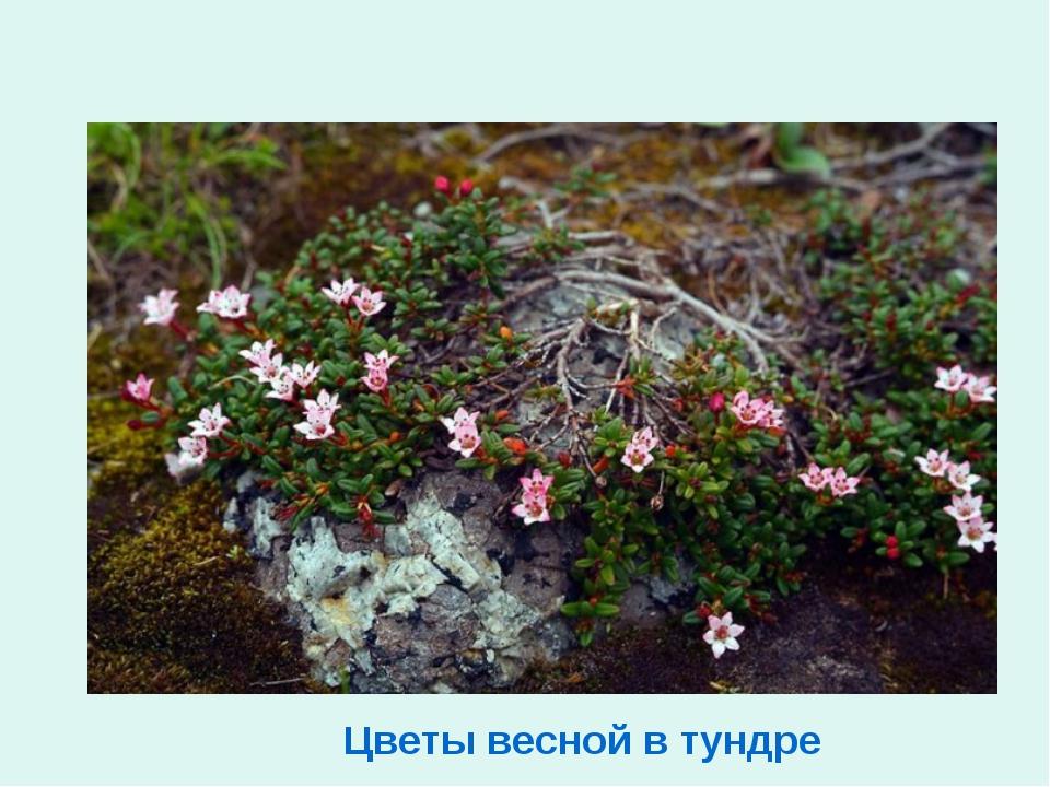 Цветы весной в тундре