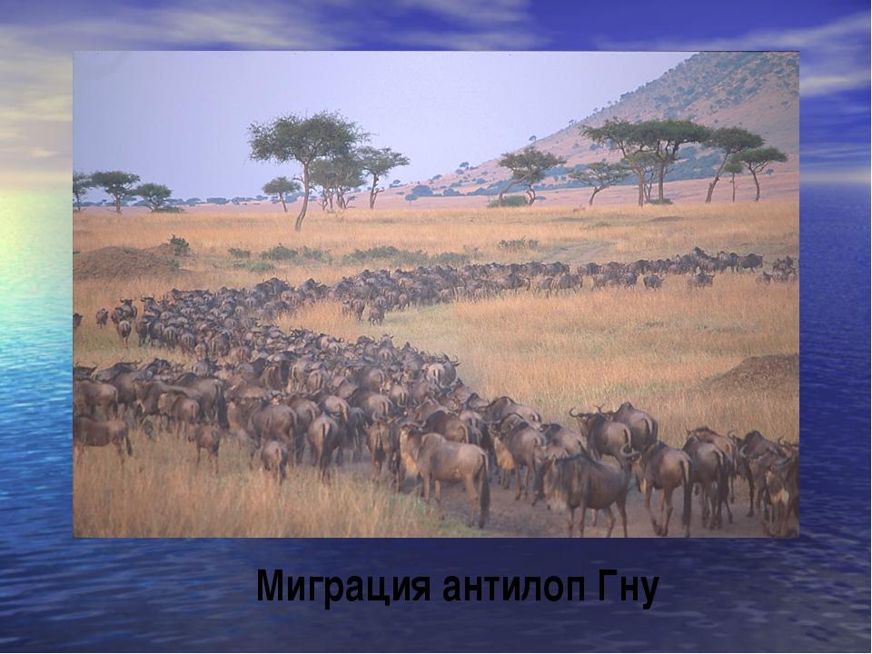Миграция антилоп Гну