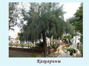 Казуарины