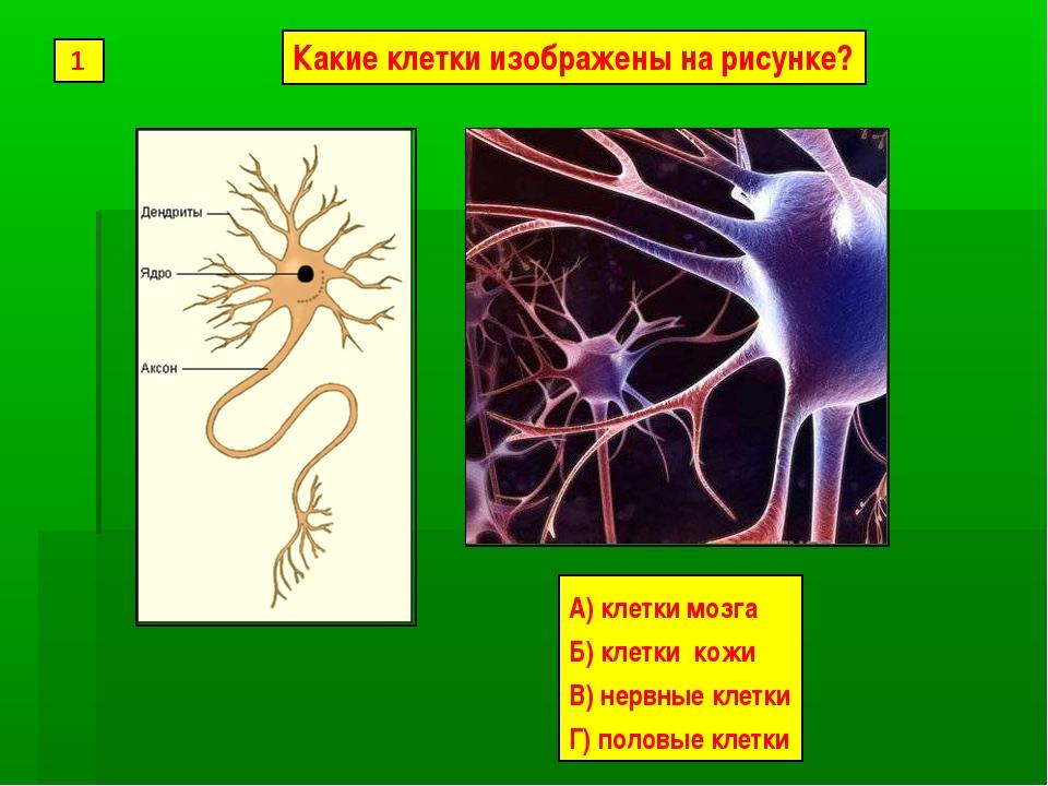 А) клетки мозга Б) клетки кожи В) нервные клетки Г) половые клетки 1 Какие кл...