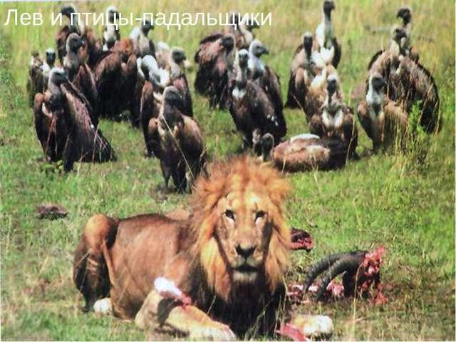 Лев и птицы-падальщики