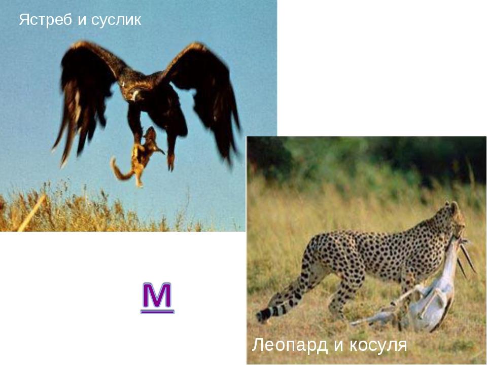 Ястреб и суслик Леопард и косуля