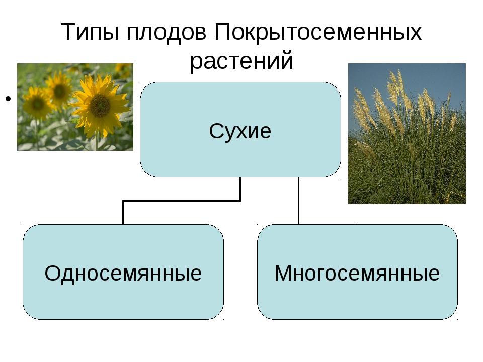 Типы плодов Покрытосеменных растений Сухие