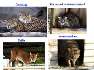 Камышовый кот Рысь Кот лесной дальневосточный Леопард
