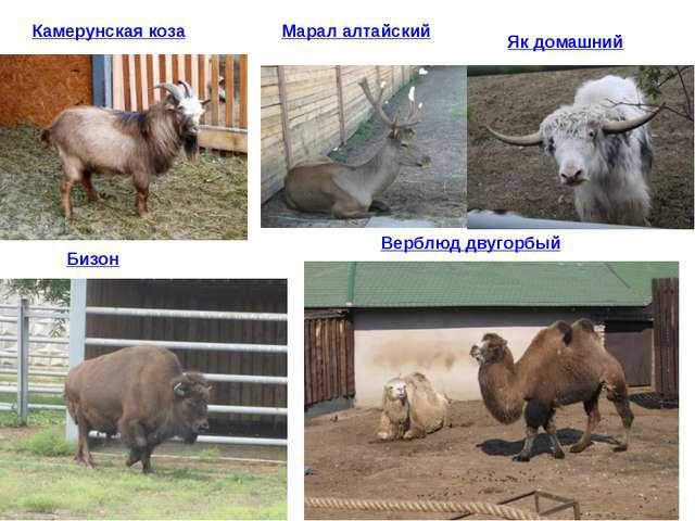 Марал алтайский Камерунская коза Як домашний Бизон Верблюд двугорбый