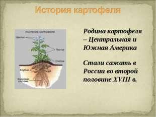 Родина картофеля – Центральная и Южная Америка Стали сажать в России во второ