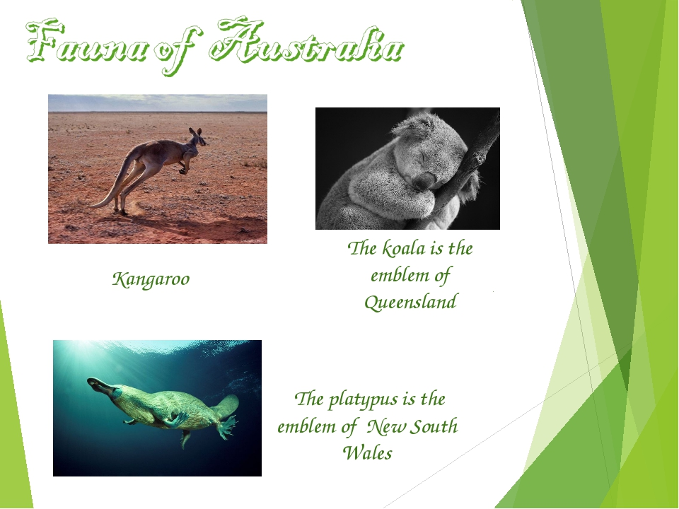 The koala is the emblem of Queensland The platypus is the emblem of New South...