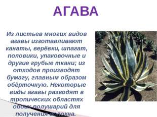 АГАВА Из листьев многих видов агавы изготавливают канаты, верёвки, шпагат, по