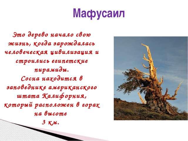 Мафусаил Это дерево начало свою жизнь, когда зарождалась человеческая цивили...