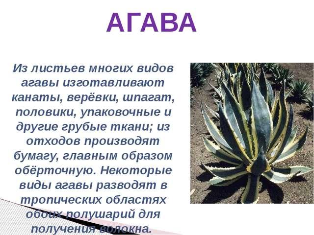 АГАВА Из листьев многих видов агавы изготавливают канаты, верёвки, шпагат, по...