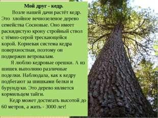 Мой друг - кедр. Возле нашей дачи растёт кедр. Это хвойное вечнозеленое дерев
