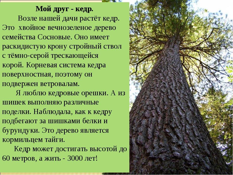 Мой друг - кедр. Возле нашей дачи растёт кедр. Это хвойное вечнозеленое дерев...