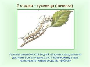 2 стадия – гусеница (личинка) Гусеница развивается 25-30 дней. Её длина к кон