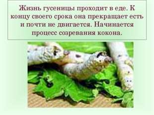 Жизнь гусеницы проходит в еде. К концу своего срока она прекращает есть и поч