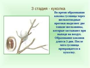 3 стадия - куколка Во время образования кокона гусеница через шелкоотводные п
