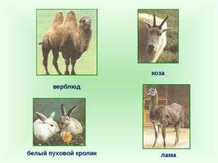 верблюд лама коза белый пуховой кролик