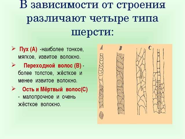 В зависимости от строения различают четыре типа шерсти: Пух (А) -наиболее тон...