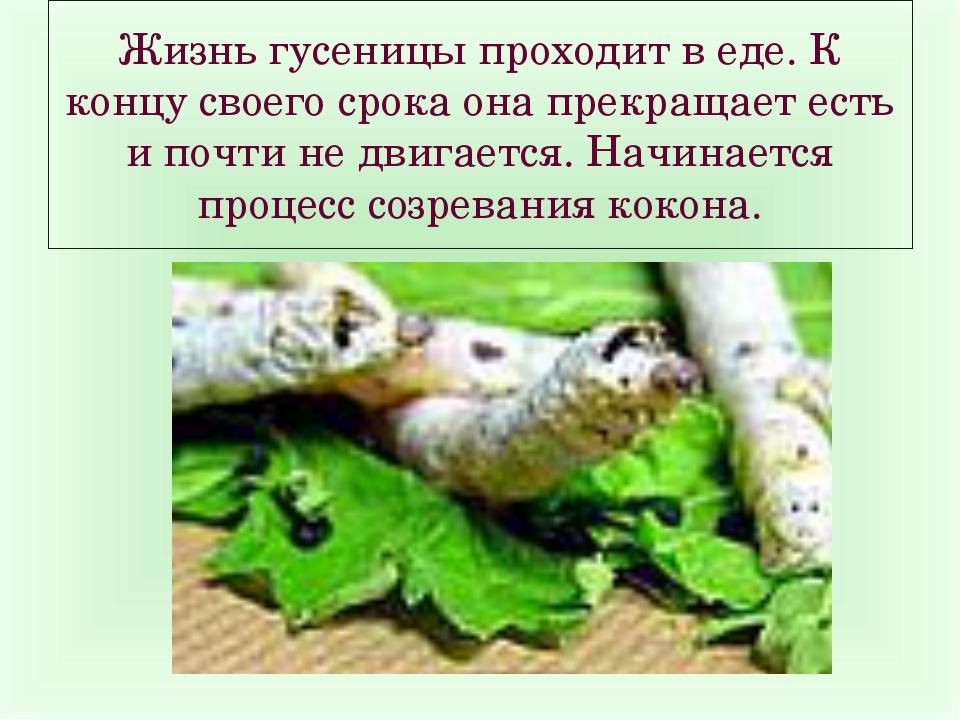Жизнь гусеницы проходит в еде. К концу своего срока она прекращает есть и поч...