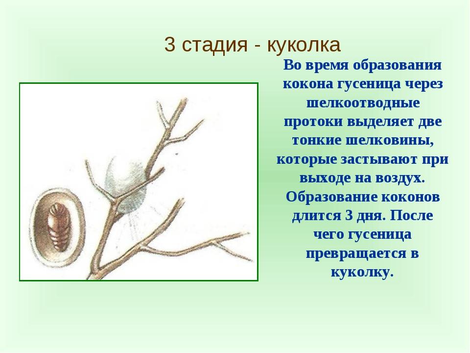 3 стадия - куколка Во время образования кокона гусеница через шелкоотводные п...