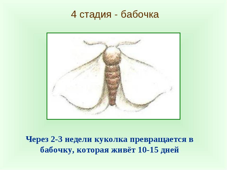 4 стадия - бабочка Через 2-3 недели куколка превращается в бабочку, которая ж...