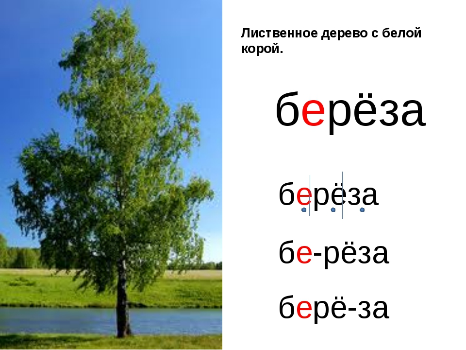 Лиственное дерево с белой корой. берёза берёза бе-рёза берё-за