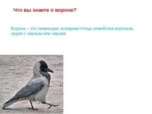 Ворона – это зимующая, всеядная птица семейства вороньих, серая с чёрным или