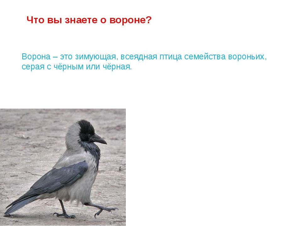 Ворона – это зимующая, всеядная птица семейства вороньих, серая с чёрным или...