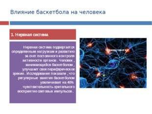 Влияние баскетбола на человека 1. Нервная система Нервная система подвергаетс