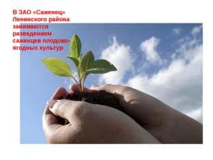 В ЗАО «Саженец» Ленинского района занимаются разведением саженцев плодово-яго