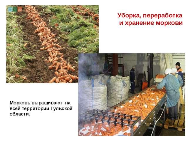 Уборка, переработка и хранение моркови Морковь выращивают на всей территории...