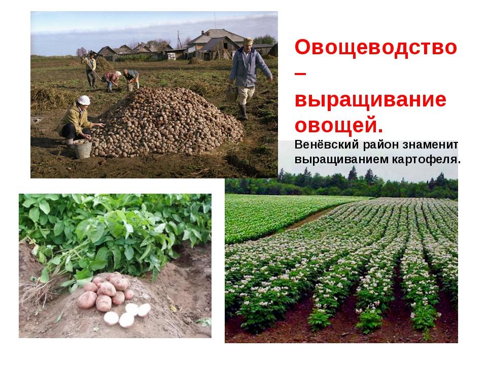 Овощеводство – выращивание овощей. Венёвский район знаменит выращиванием карт...