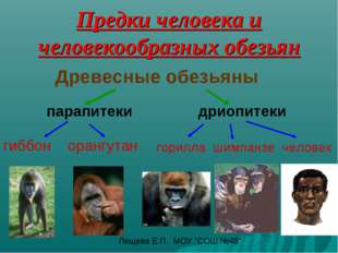 Предки человека и человекообразных обезьян Древесные обезьяны парапитеки дрио