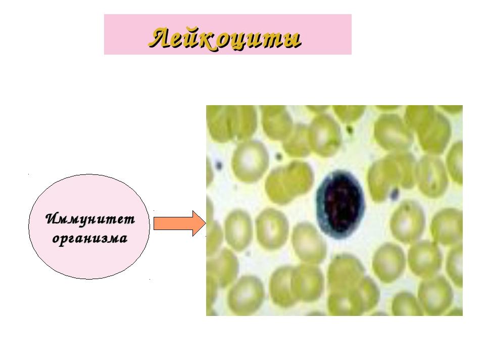 Лейкоциты Иммунитет организма