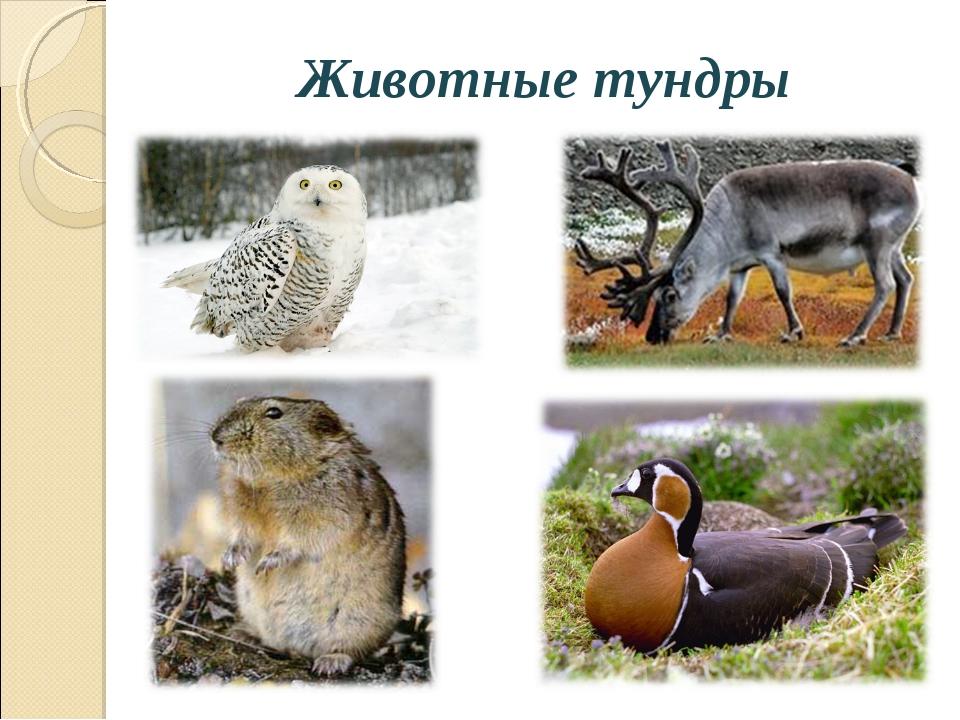 Животные тундры