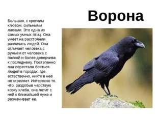 Ворона Большая, с крепким клювом, сильными лапами. Это одна из самых умных пт