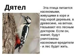 Дятел Эта птица питается насекомыми, живущими в коре и под корой деревьев, в