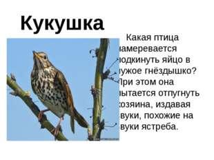 Кукушка Какая птица намеревается подкинуть яйцо в чужое гнёздышко? При этом о