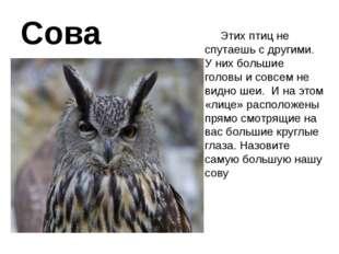 Сова Этих птиц не спутаешь с другими. У них большие головы и совсем не видно