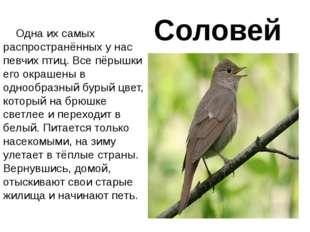 Соловей Одна их самых распространённых у нас певчих птиц. Все пёрышки его окр