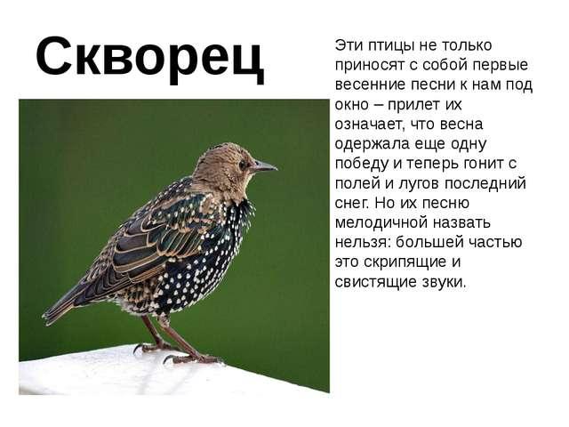 Скворец Эти птицы не только приносят с собой первые весенние песни к нам под...