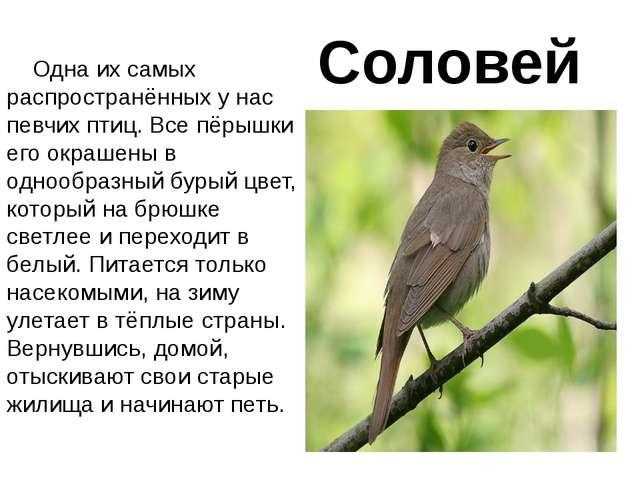 Соловей Одна их самых распространённых у нас певчих птиц. Все пёрышки его окр...