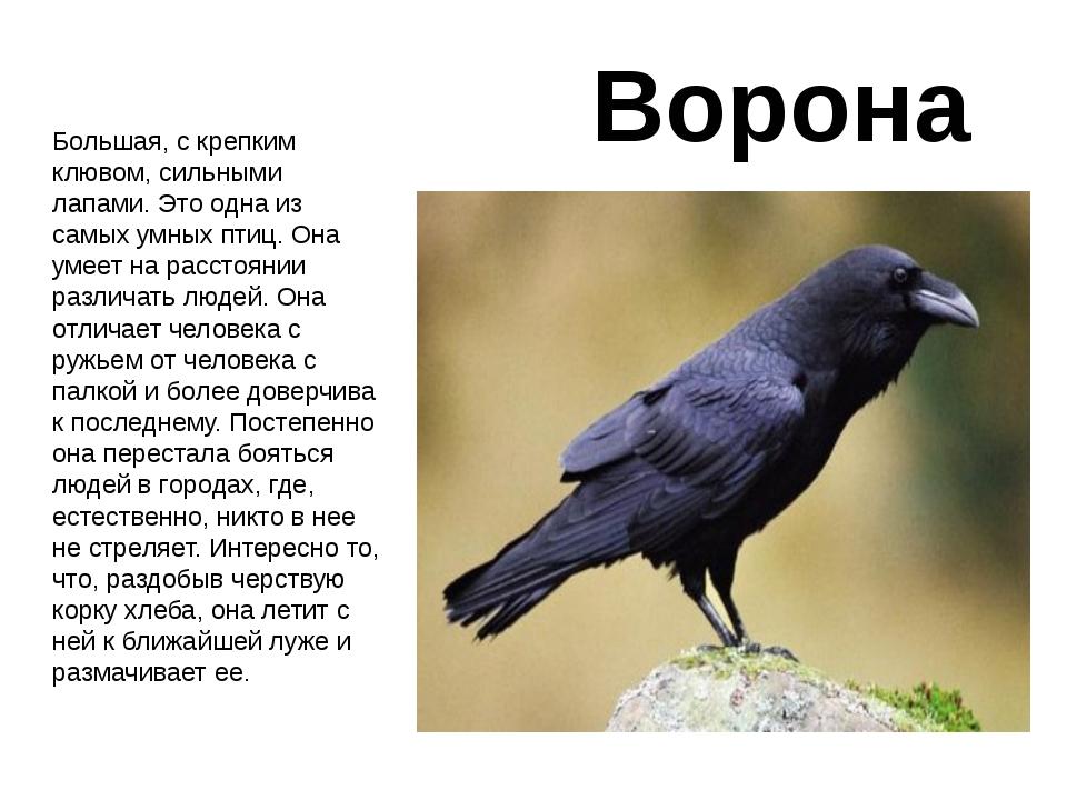 Ворона Большая, с крепким клювом, сильными лапами. Это одна из самых умных пт...