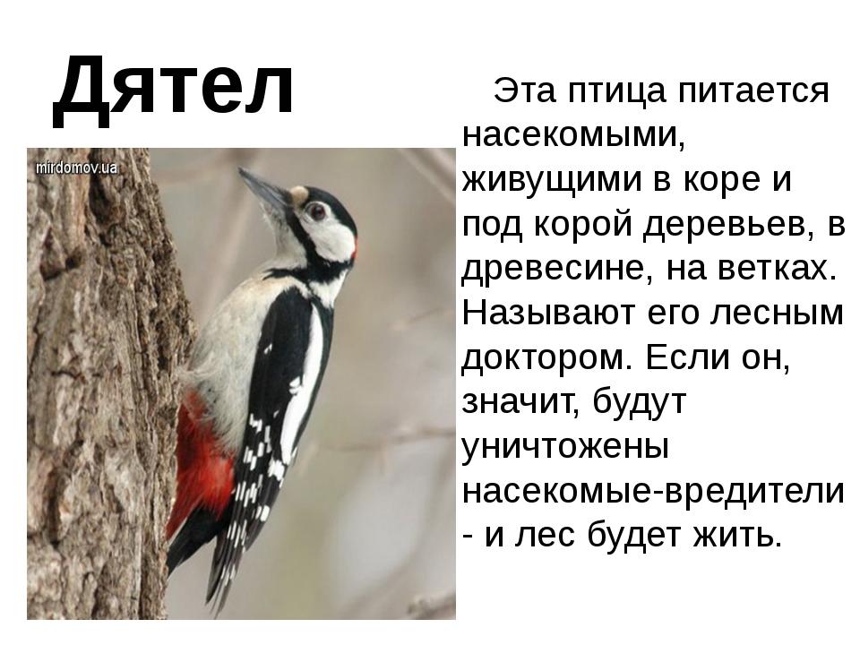 Дятел Эта птица питается насекомыми, живущими в коре и под корой деревьев, в...