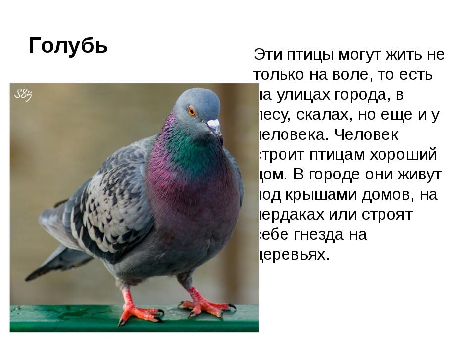 Голубь Эти птицы могут жить не только на воле, то есть на улицах города, в ле...