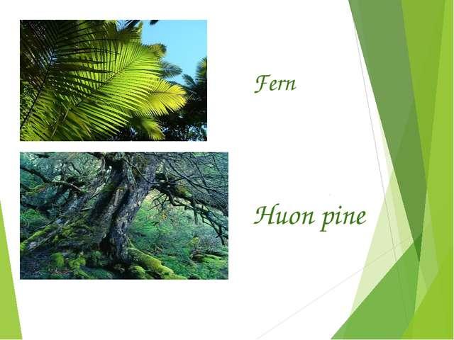 Fern Huon pine