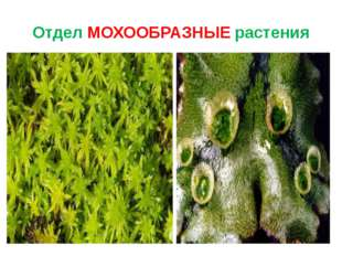 Отдел МОХООБРАЗНЫЕ растения