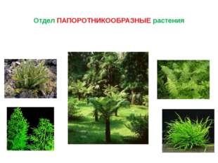 Отдел ПАПОРОТНИКООБРАЗНЫЕ растения