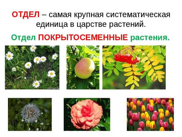 ОТДЕЛ – самая крупная систематическая единица в царстве растений. Отдел ПОКРЫ...